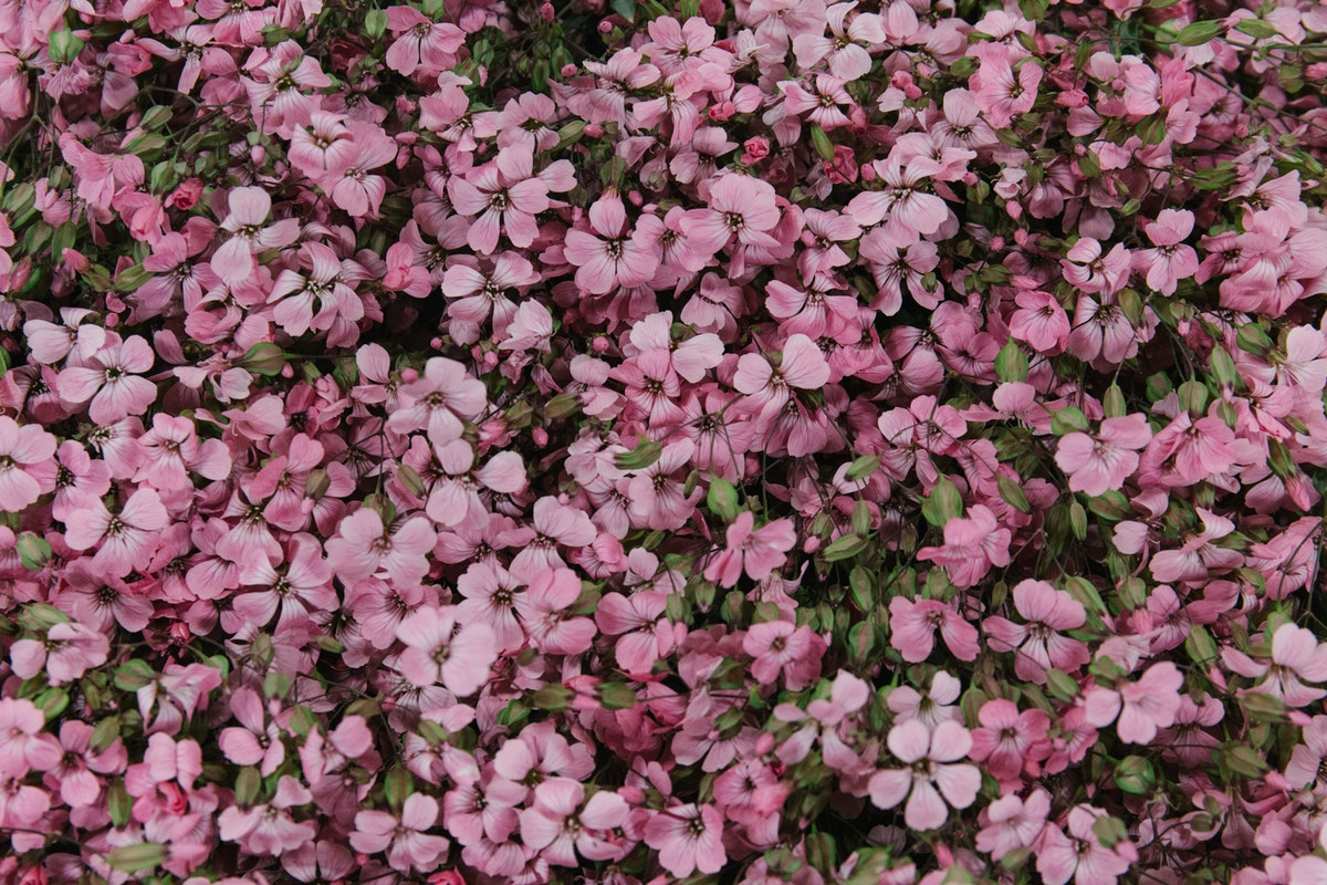 New Covent Garden Flower Market July 2018 In Season Report Rona Wheeldon Flowerona British Pink Saponaria At Pratley