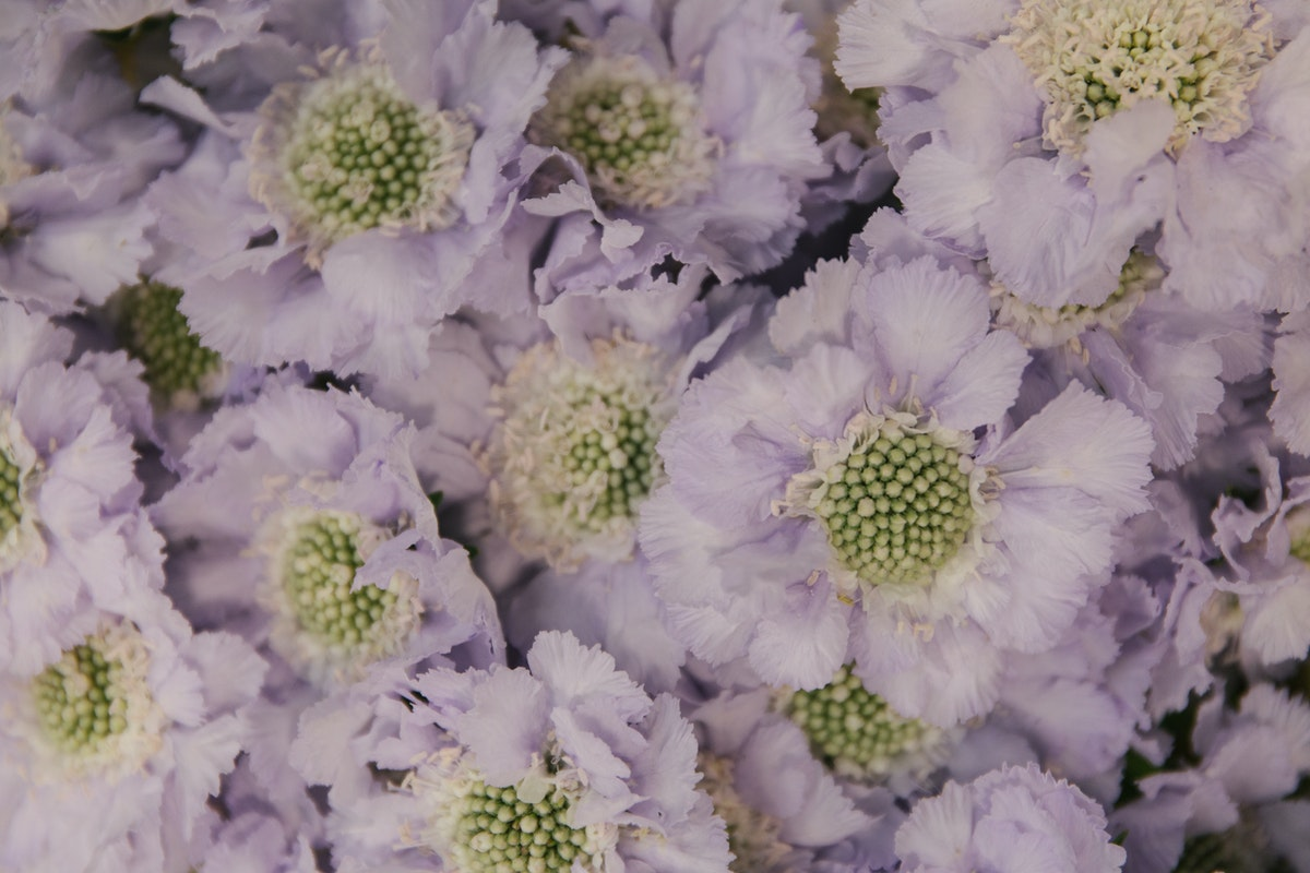 New Covent Garden Flower Market July 2018 In Season Report Rona Wheeldon Flowerona Scabiosa Caucasica Lisa At Bloomfield