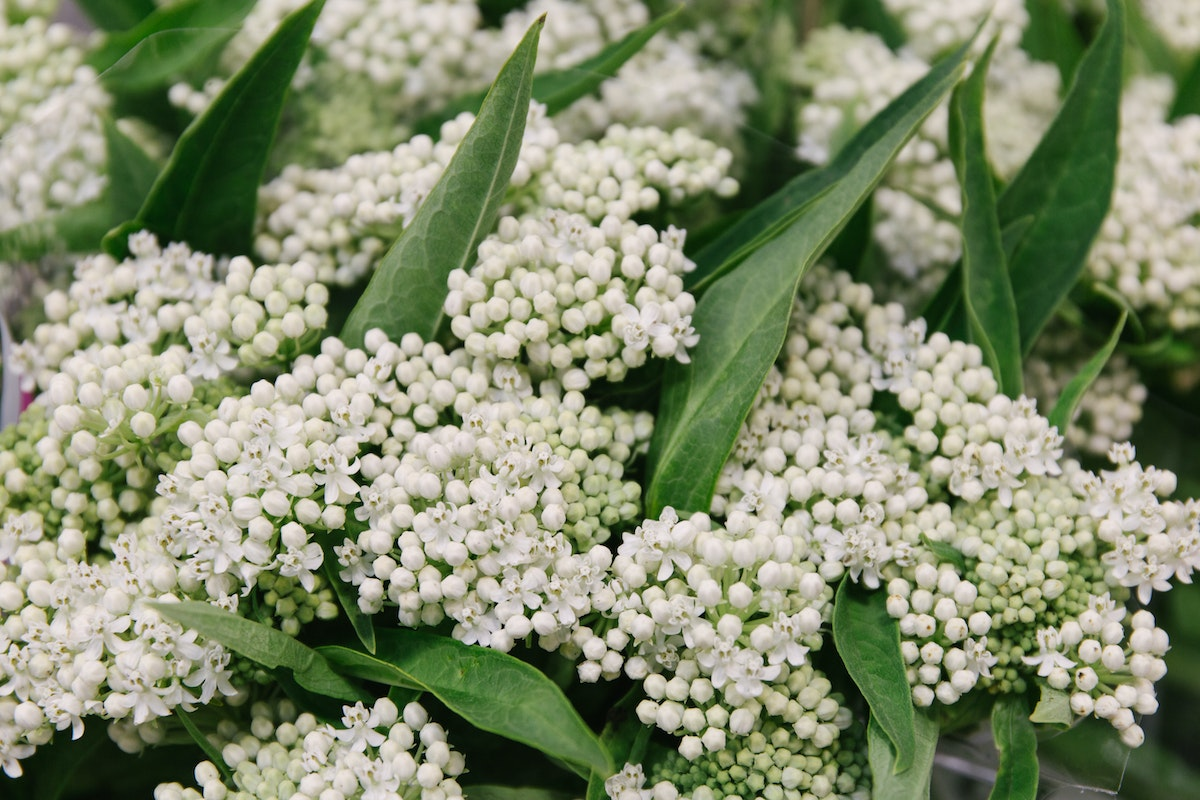 New Covent Garden Flower Market July 2018 In Season Report Rona Wheeldon Flowerona White Asclepias Incarnata Ice Ballet At Zest Flowers