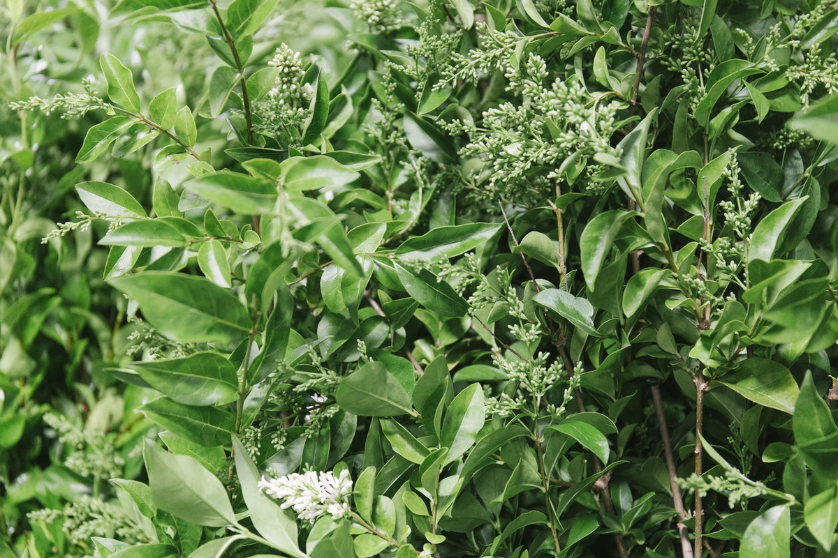 New Covent Garden Flower Market July 2019 In Season Report Rona Wheeldon Flowerona British Flowering Privet At Porters Foliage