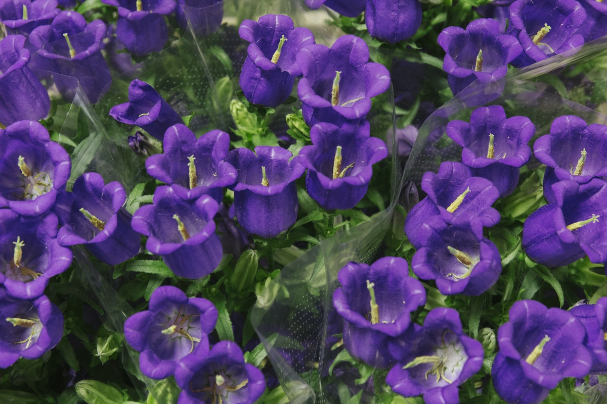 New Covent Garden Flower Market July 2019 In Season Report Rona Wheeldon Flowerona Campanula Champion Blue At Dg Wholesale Flowers