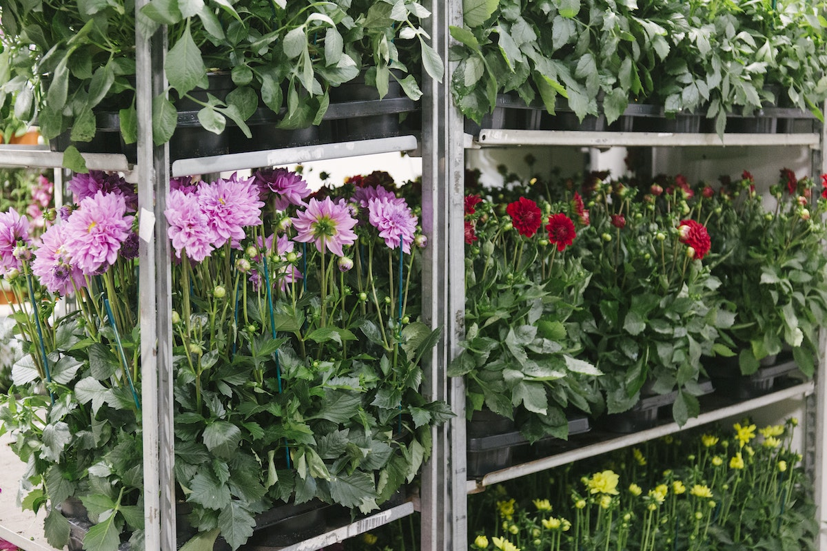 New Covent Garden Flower Market July 2019 In Season Report Rona Wheeldon Flowerona Dahilas Plants At Evergreen