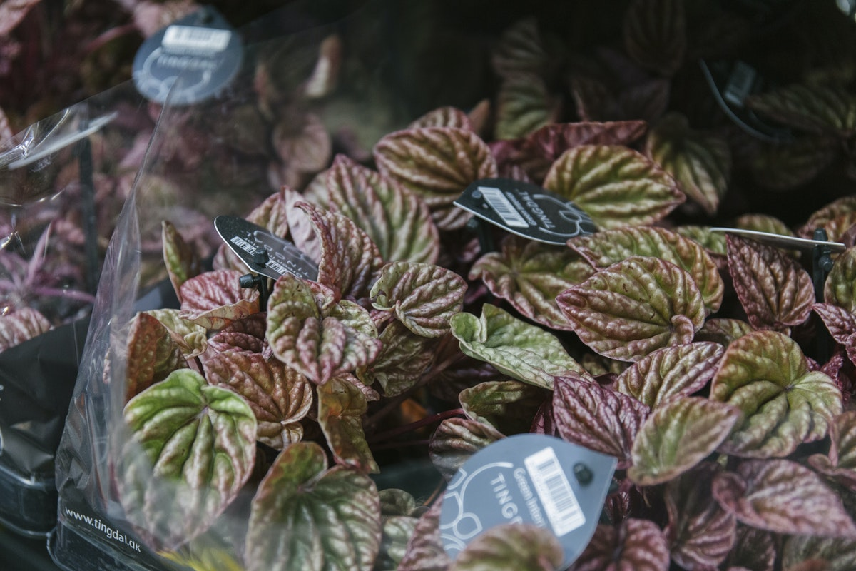 New Covent Garden Flower Market July 2019 In Season Report Rona Wheeldon Flowerona Peperomia Quito Plants At Quality Plants