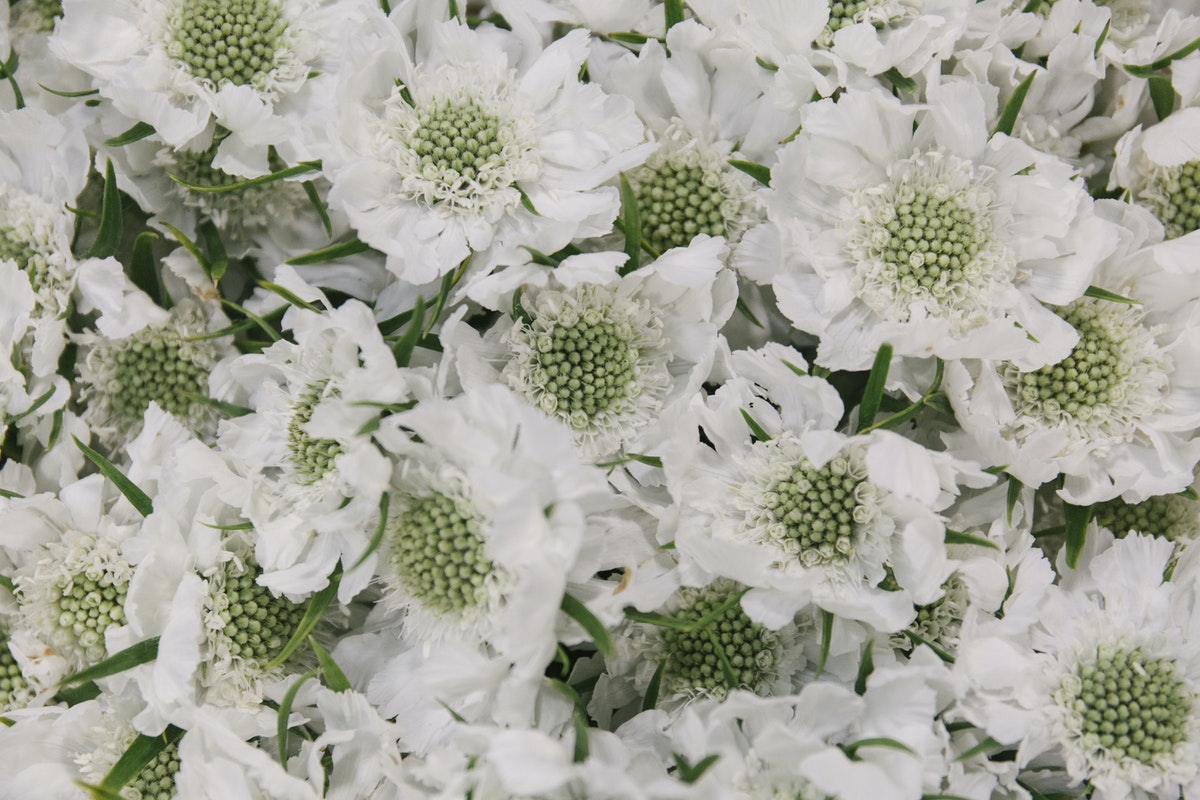 New Covent Garden Flower Market July 2019 In Season Report Rona Wheeldon Flowerona Scabiosa Caucasica At Bloomfield