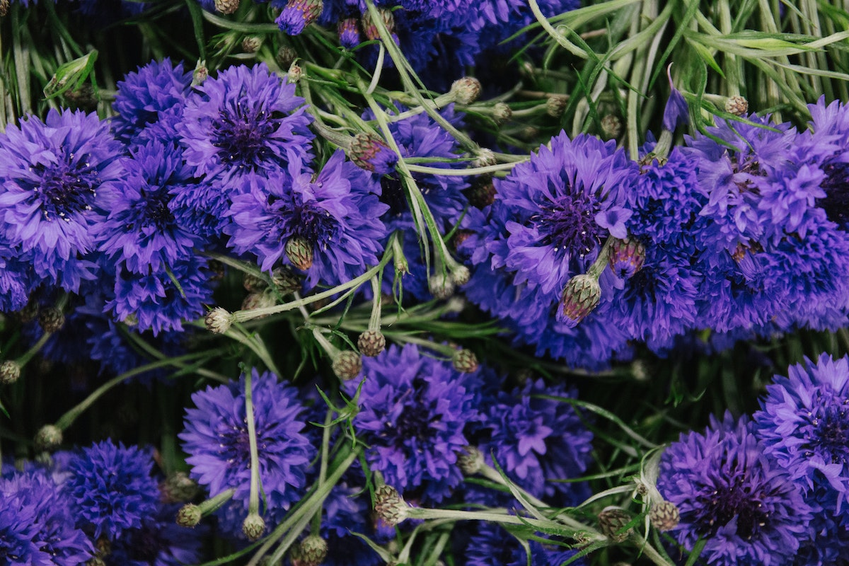 New Covent Garden Flower Market June 2018 In Season Report Rona Wheeldon Flowerona Blue British Cornflowers At Pratley