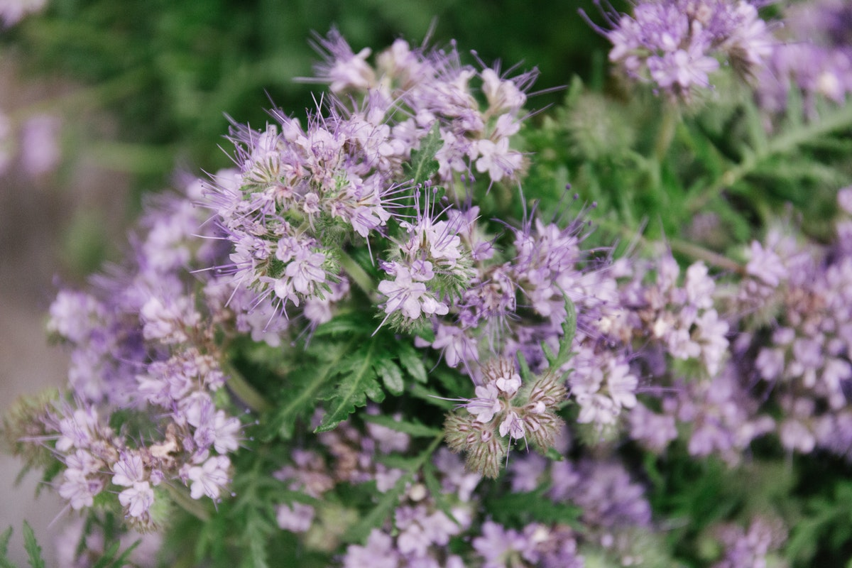 New Covent Garden Flower Market June 2018 In Season Report Rona Wheeldon Flowerona British Phacelia Tanacetifolia At Zest Flowers