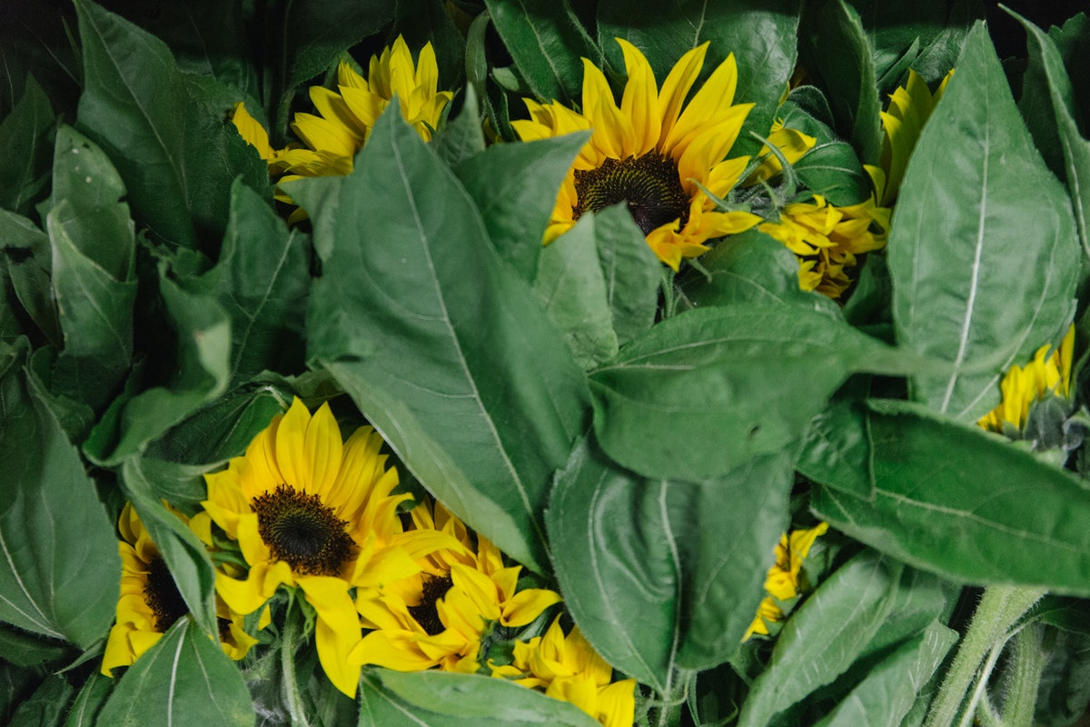 New Covent Garden Flower Market June 2018 In Season Report Rona Wheeldon Flowerona British Sunflowers At Pratley