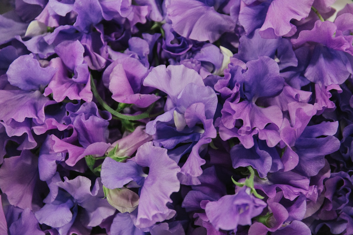 New Covent Garden Flower Market June 2018 In Season Report Rona Wheeldon Flowerona British Sweet Peas At Pratley Hero Image