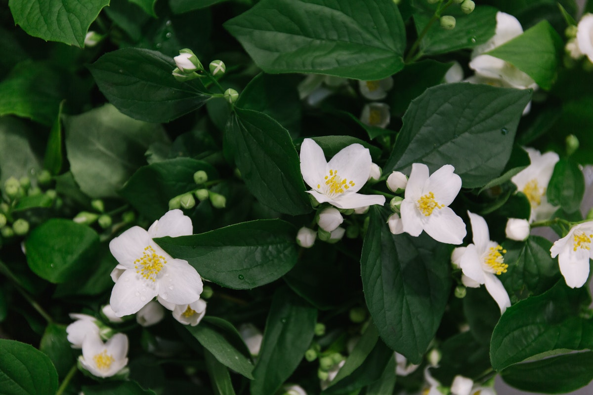 New Covent Garden Flower Market June 2018 In Season Report Rona Wheeldon Flowerona Philadelphus At Bloomfield