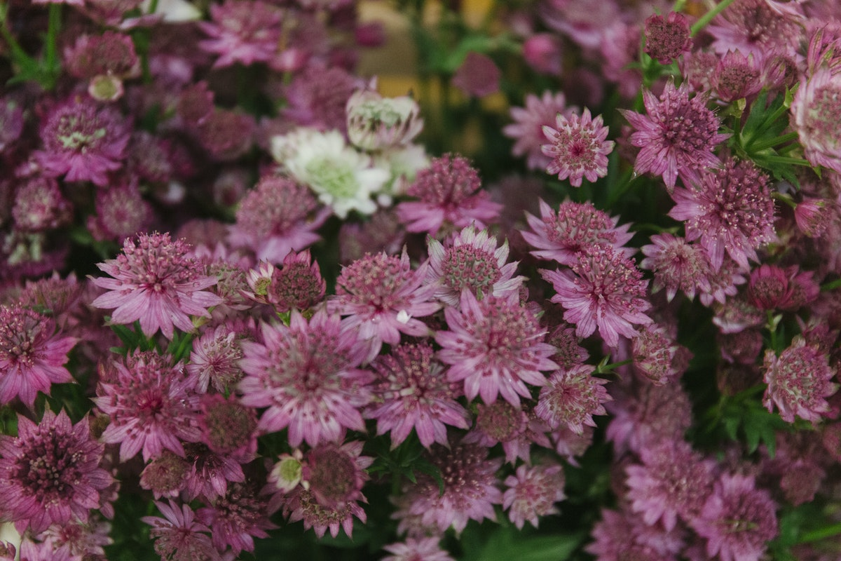 New Covent Garden Flower Market June 2019 A Florists Guide To British Flowers Rona Wheeldon Flowerona British Astrantia At Zest Flowers