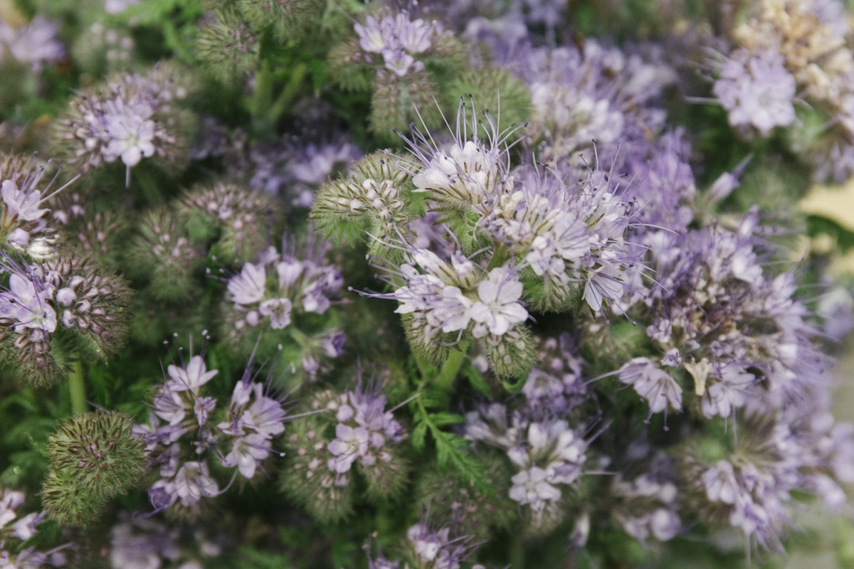 New Covent Garden Flower Market June 2019 A Florists Guide To British Flowers Rona Wheeldon Flowerona British Phacelia At Zest Flowers