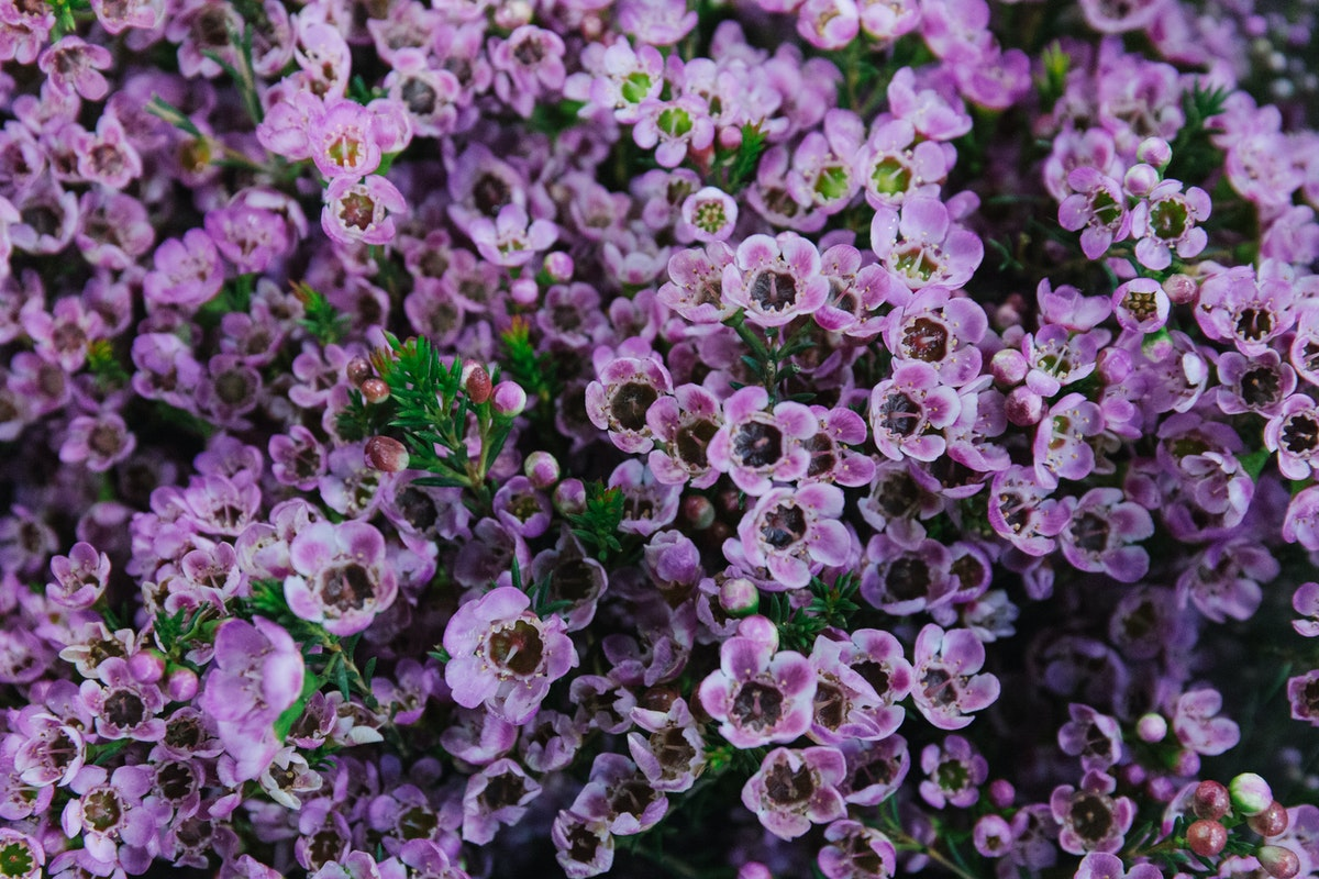 New Covent Garden Flower Market March 2018 A Florists Guide To Waxflower Rona Wheeldon Flowerona Chamelaucium Adi At Dg Wholesale Flowers