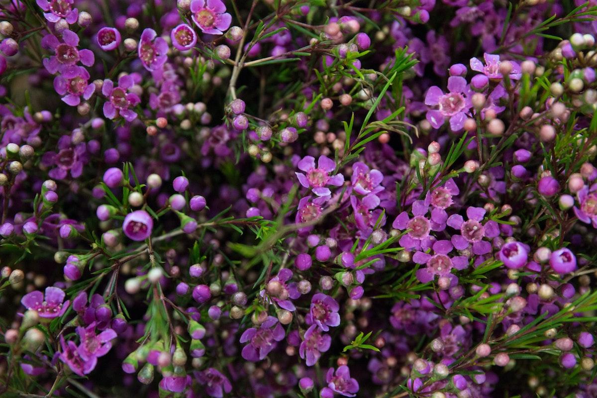 New Covent Garden Flower Market March 2018 A Florists Guide To Waxflower Rona Wheeldon Flowerona Chamelaucium Eden At Deanos Flowers