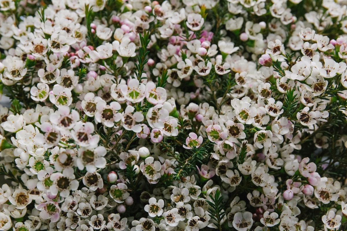 New Covent Garden Flower Market March 2018 A Florists Guide To Waxflower Rona Wheeldon Flowerona Chamelaucium Tal At Bloomfield