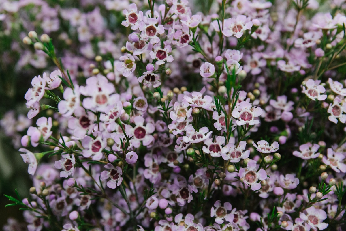 New Covent Garden Flower Market March 2018 A Florists Guide To Waxflower Rona Wheeldon Flowerona Chamelaucium Uncinatum Early Nir At Bloomfield 1