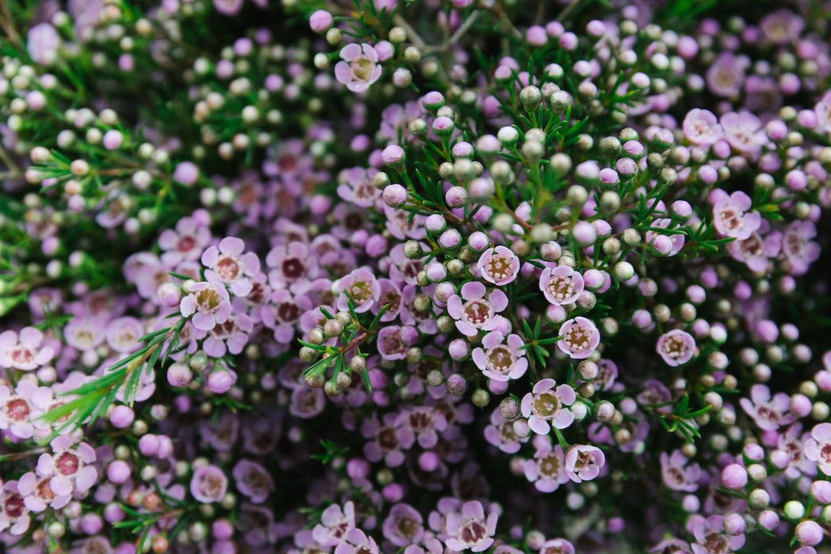 New Covent Garden Flower Market March 2018 A Florists Guide To Waxflower Rona Wheeldon Flowerona Chamelaucium Uncinatum Early Nir At Dg Wholesale Flowers