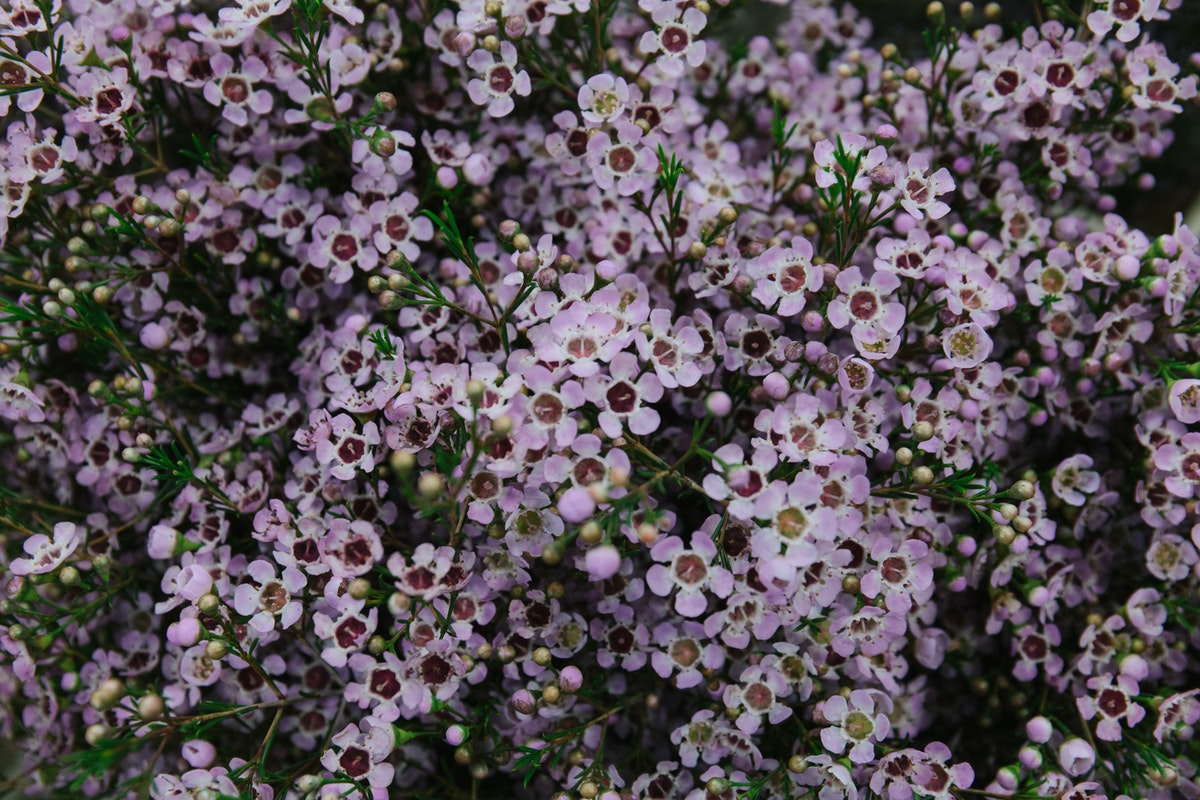 New Covent Garden Flower Market March 2018 A Florists Guide To Waxflower Rona Wheeldon Flowerona Chamelaucium Uncinatum Wendy Rose At Dg Wholesale Flowers