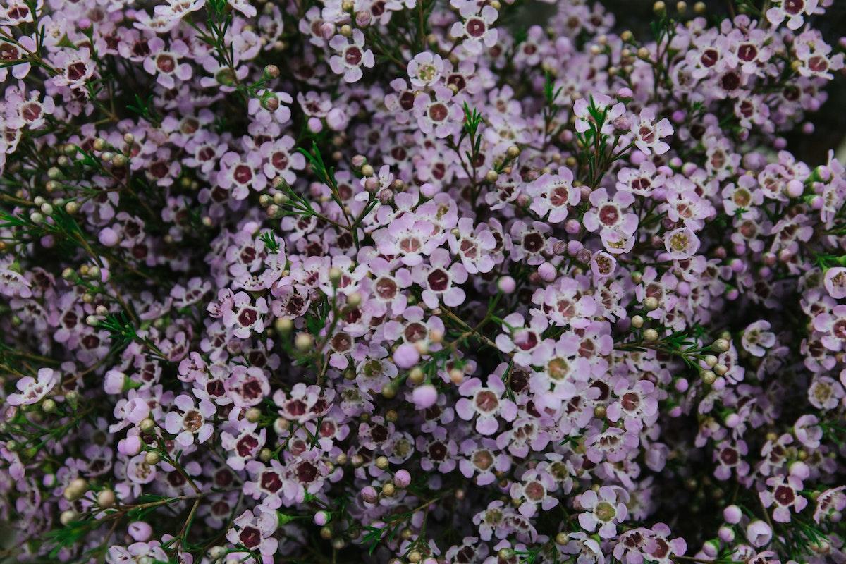 New Covent Garden Flower Market March 2018 A Florists Guide To Waxflower Rona Wheeldon Flowerona Chamelaucium Uncinatum Wendy Rose At Dg Wholesale Flowers