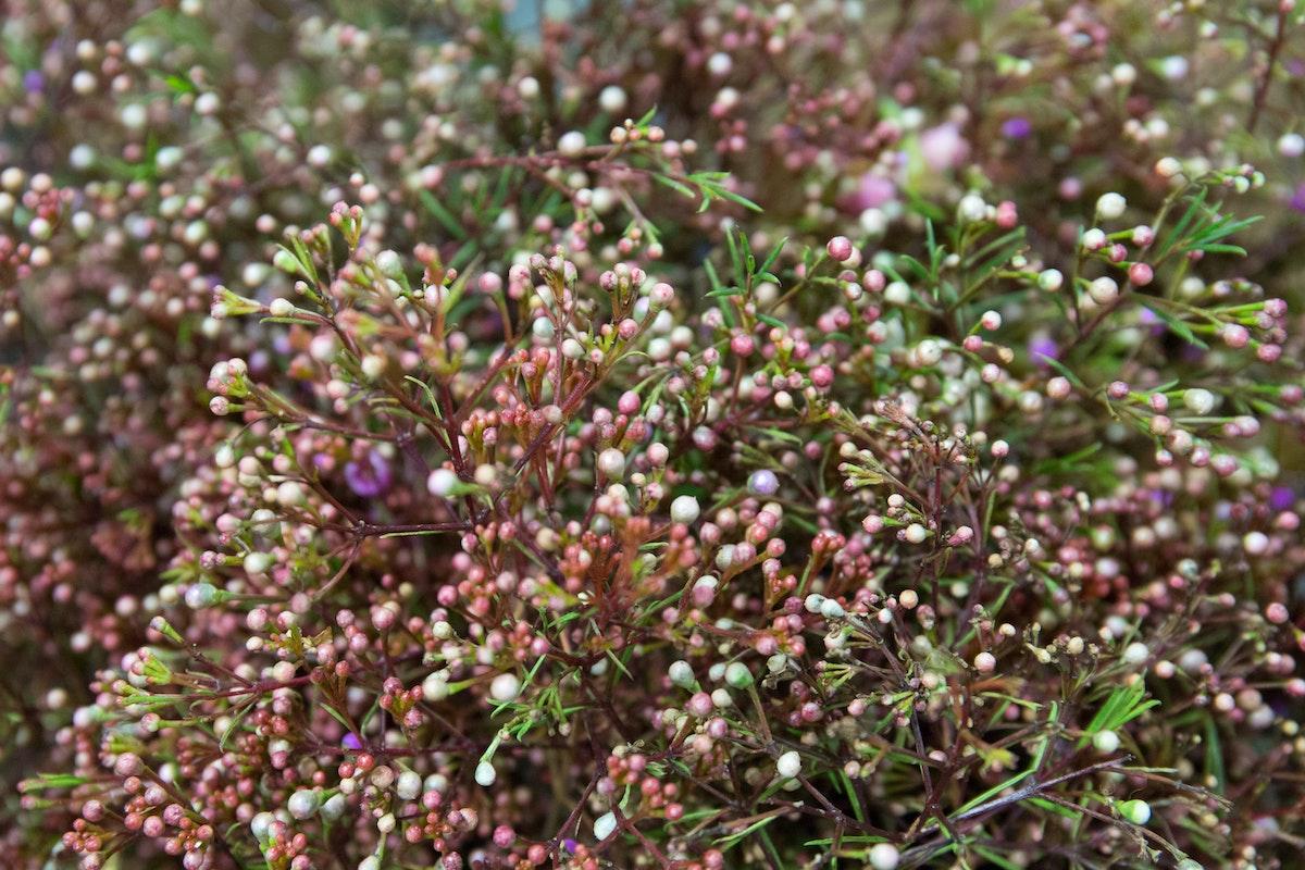 New Covent Garden Flower Market March 2018 A Florists Guide To Waxflower Rona Wheeldon Flowerona Vega At Dennis Edwards Flowers