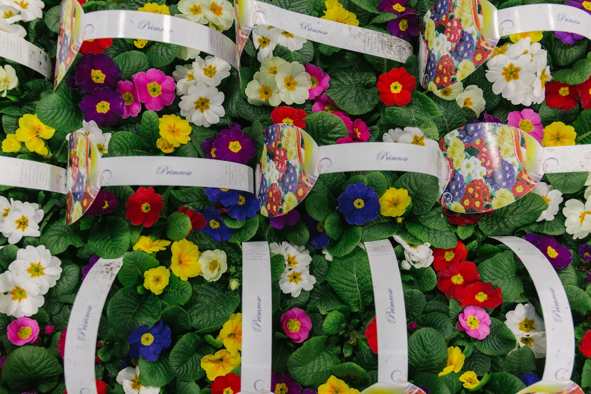 New Covent Garden Flower Market March 2018 In Season Report Rona Wheeldon Flowerona British Polyanthus Plants At L Mills