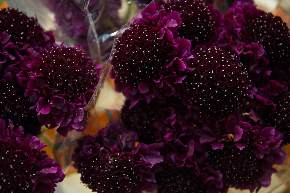 New Covent Garden Flower Market March 2018 In Season Report Rona Wheeldon Flowerona Scabiosa Atropurpurea Red Velvet Scoop