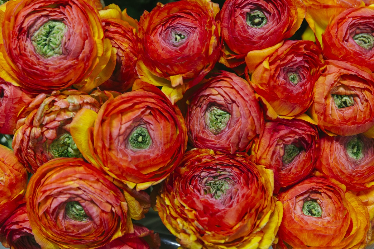 New Covent Garden Flower Market March 2019 A Florists Guide To Ranunculus Rona Wheeldon Flowerona Elios Cloni Ranunculus At Dennis Edwards Flowers