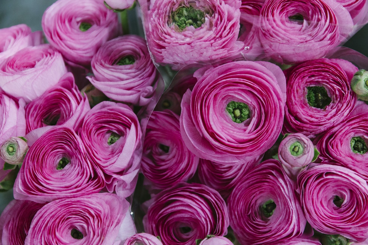 New Covent Garden Flower Market March 2019 A Florists Guide To Ranunculus Rona Wheeldon Flowerona Light Pink Cloni Ranunculus At Zest Flowers
