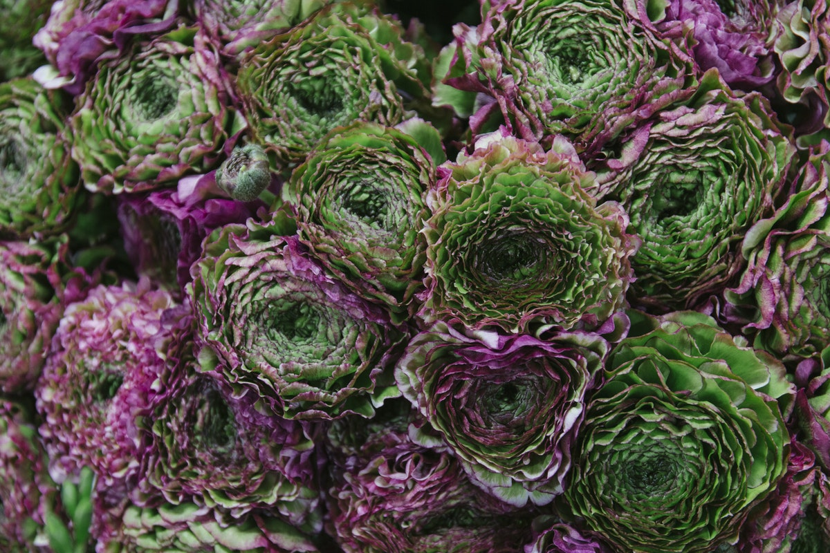 New Covent Garden Flower Market March 2019 A Florists Guide To Ranunculus Rona Wheeldon Flowerona Malva Cloni Pon Pon Ranunculus At Dennis Edwards Flowers