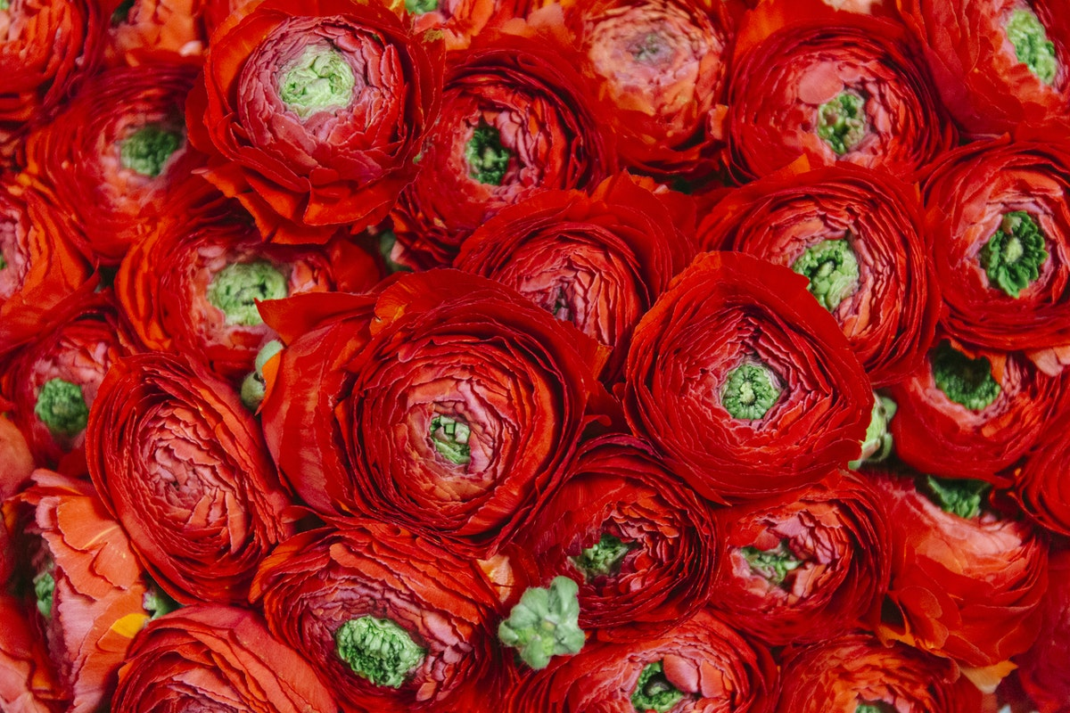 New Covent Garden Flower Market March 2019 A Florists Guide To Ranunculus Rona Wheeldon Flowerona Sangria Cloni Ranunculus At Dennis Edwards Flowers