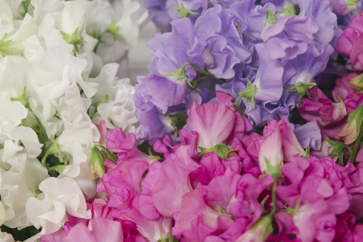 New Covent Garden Flower Market March 2019 A Florists Guide To Scented Flowers And Foliage Rona Wheeldon Flowerona Sweet Peas At Bloomfield