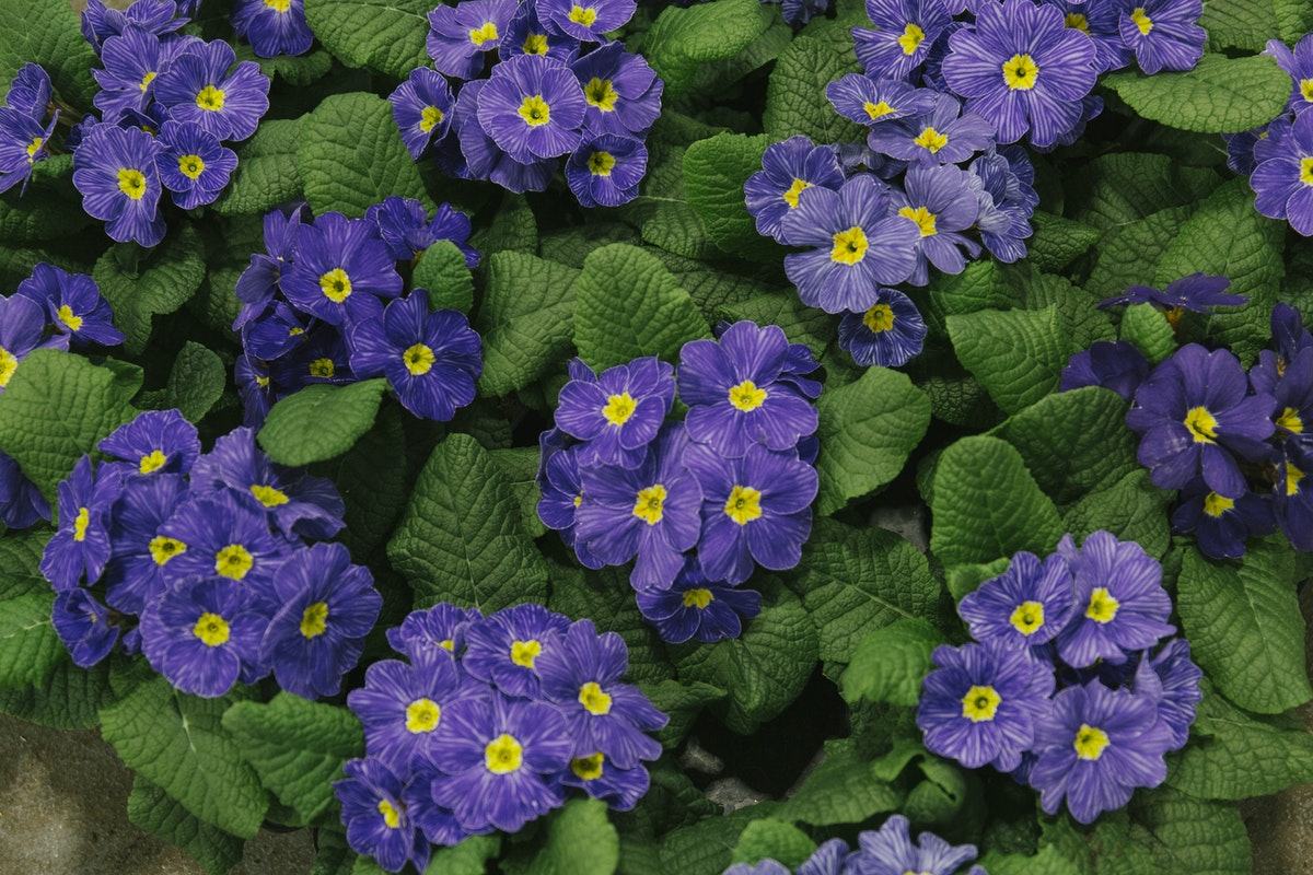 New Covent Garden Flower Market March 2019 In Season Report Rona Wheeldon Flowerona British Delft Primroses At L Mills