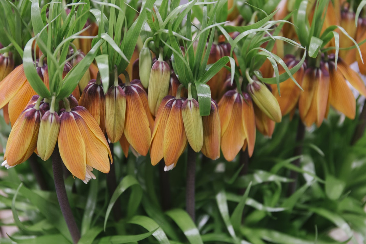 New Covent Garden Flower Market March 2019 In Season Report Rona Wheeldon Flowerona Fritillaria Imperialis Orange Sweet At Bloomfield