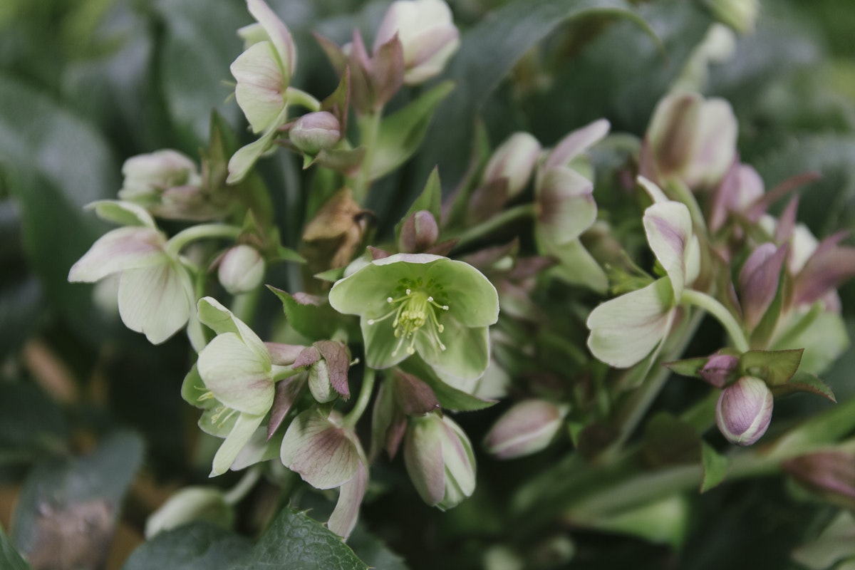 New Covent Garden Flower Market March 2019 In Season Report Rona Wheeldon Flowerona Helleborus Sternii At Dennis Edwards Flowers