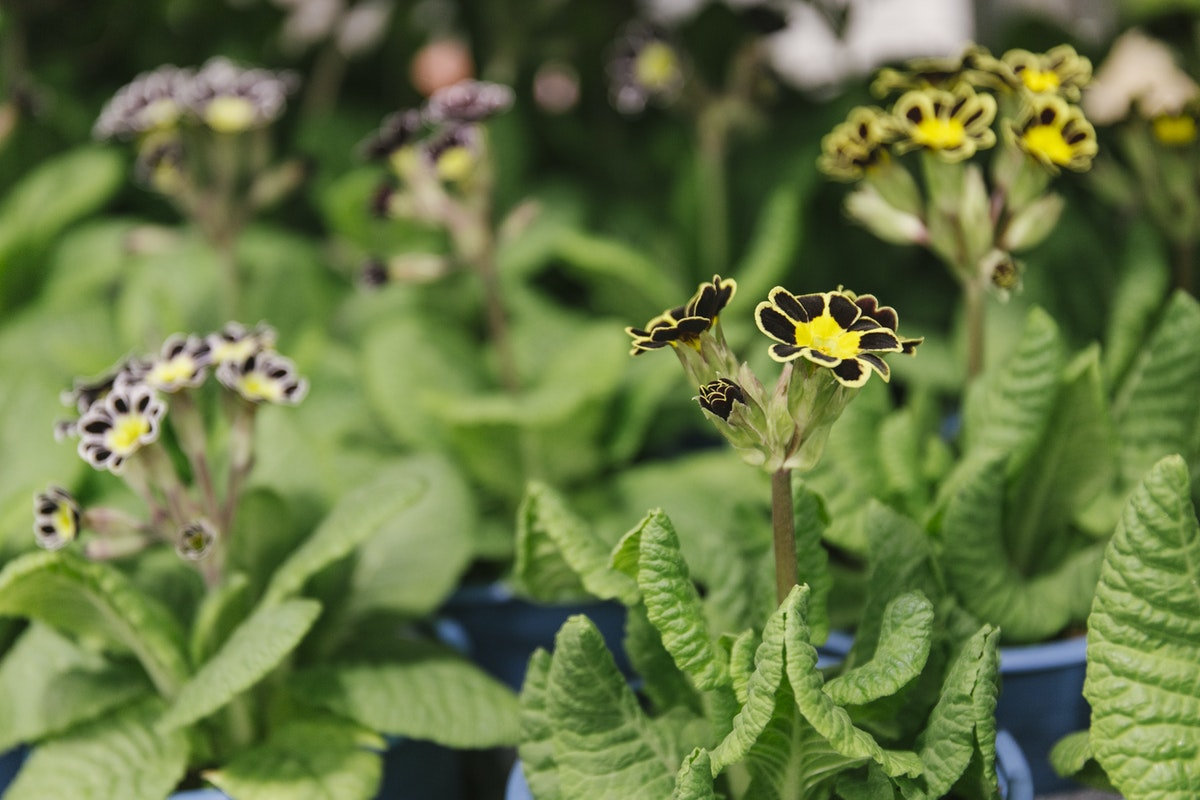 New Covent Garden Flower Market March 2020 In Season Report Rona Wheeldon Flowerona British Primula Silver Lace And Gold Lace Plants At L Mills