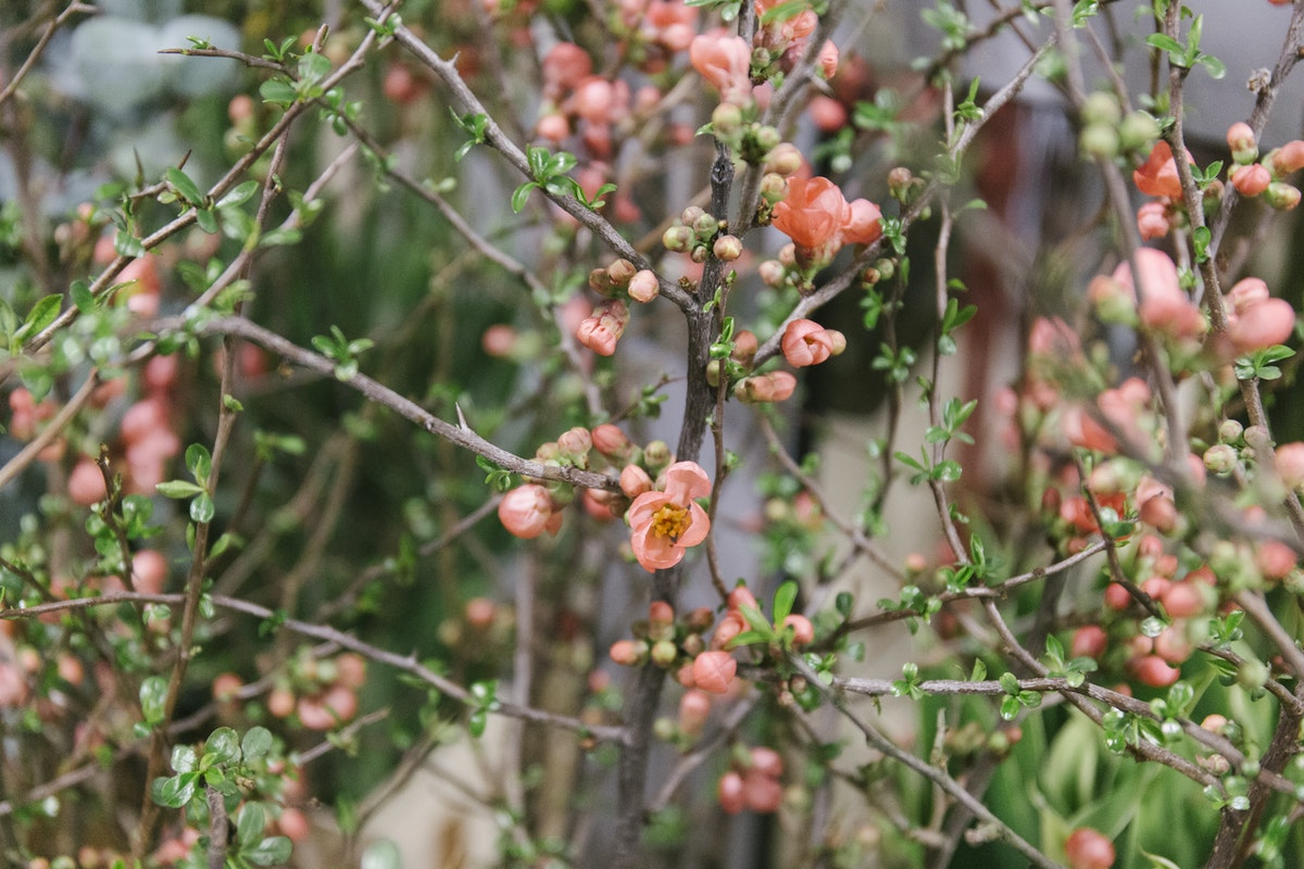 New Covent Garden Flower Market March 2020 In Season Report Rona Wheeldon Flowerona Chaenomeles Speciosa Also Known As Japanese Quince At Porters Foliage