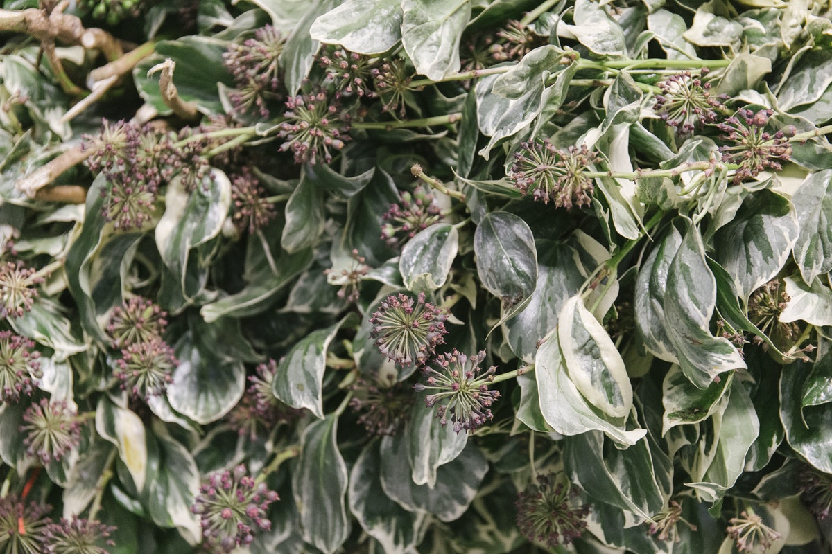 New Covent Garden Flower Market March 2020 In Season Report Rona Wheeldon Flowerona English Variegated Berried Ivy At Gb Foliage