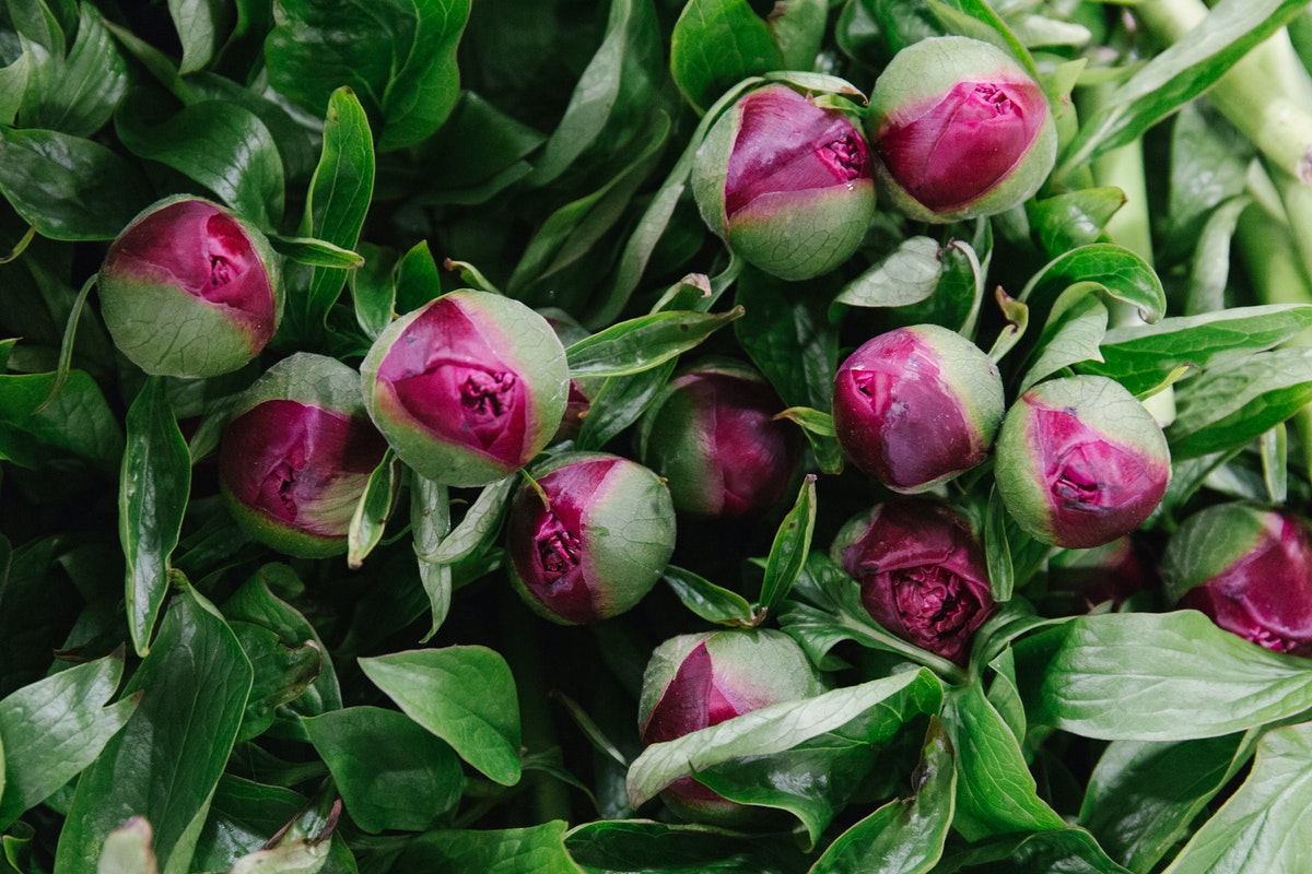 New Covent Garden Flower Market May 2018 A Florists Guide To Peonies Rona Wheeldon Flowerona British Early Cottage Peony At Pratley