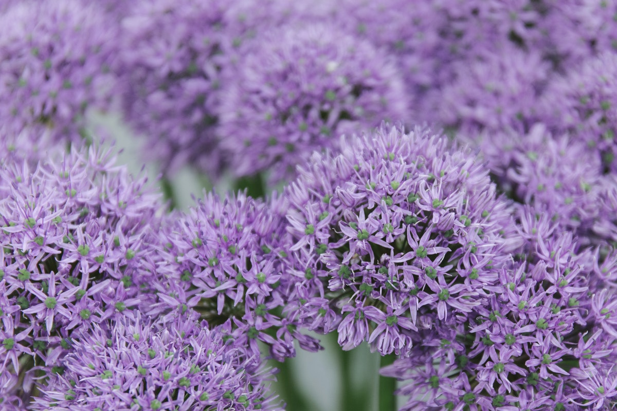 New Covent Garden Flower Market May 2019 In Season Report Rona Wheeldon Flowerona Allium Gladiator At Bloomfield