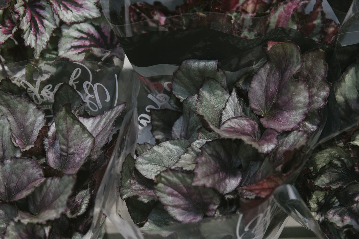 New Covent Garden Flower Market May 2019 In Season Report Rona Wheeldon Flowerona Begonia Rex Plants At Quality Plants