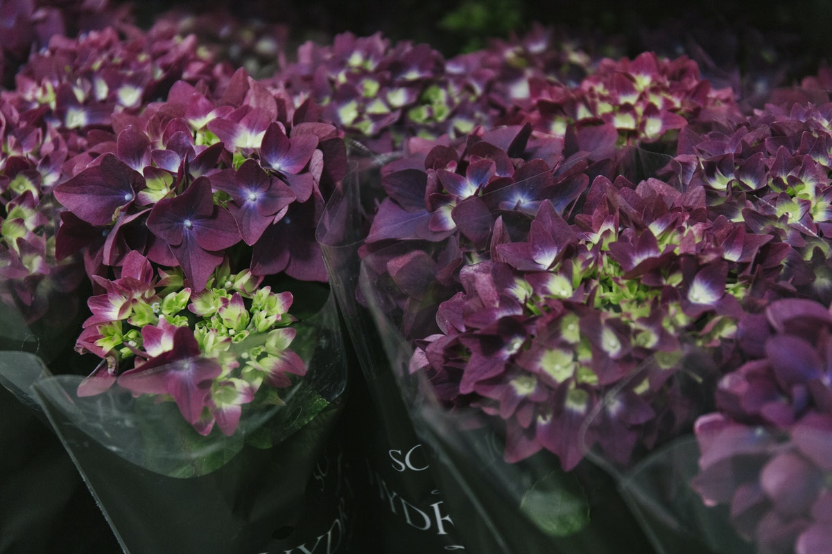 New Covent Garden Flower Market May 2019 In Season Report Rona Wheeldon Flowerona Blackurrant Hydrangea Macrophylla Plants At Quality Plants