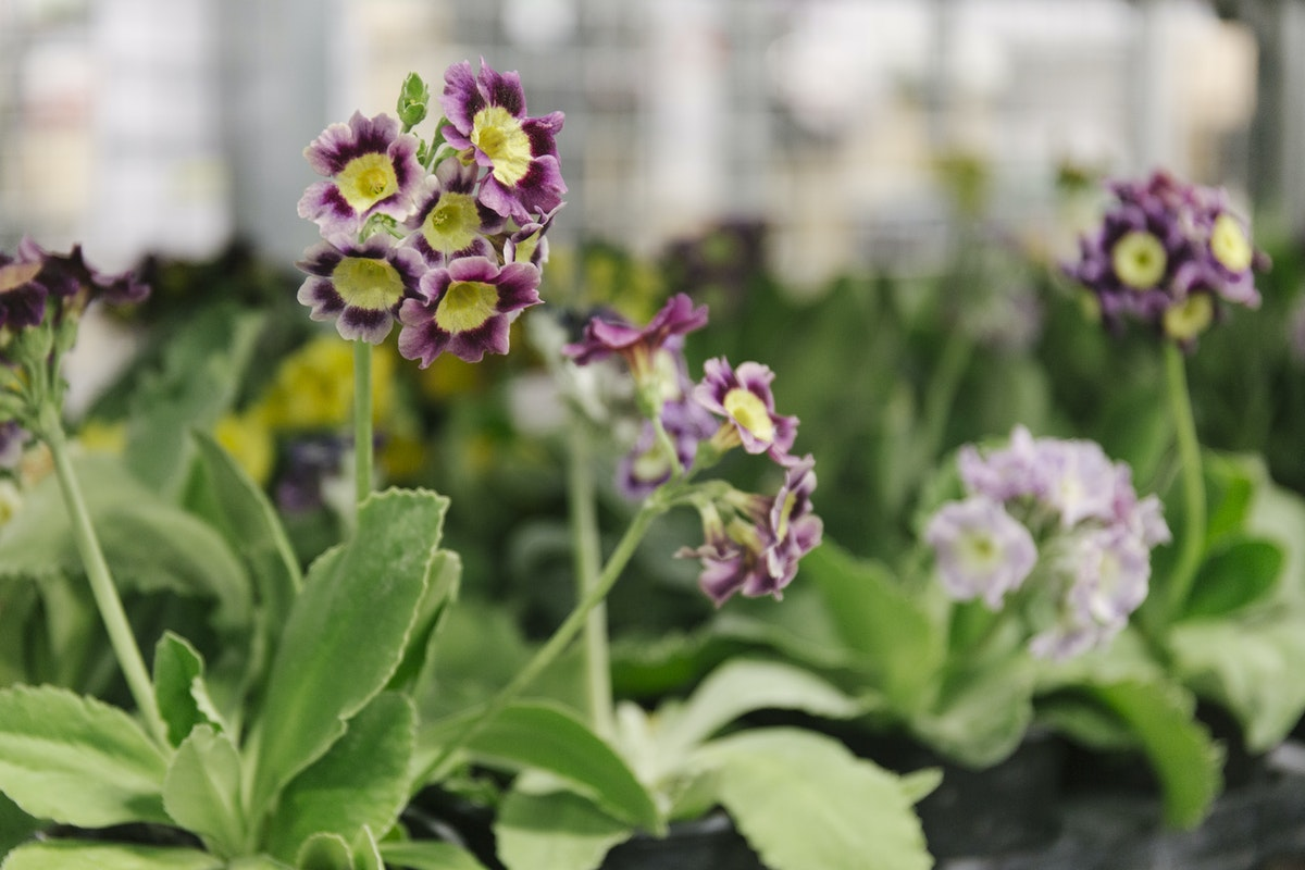 New Covent Garden Flower Market May 2019 In Season Report Rona Wheeldon Flowerona British Auricula Plants At L Mills