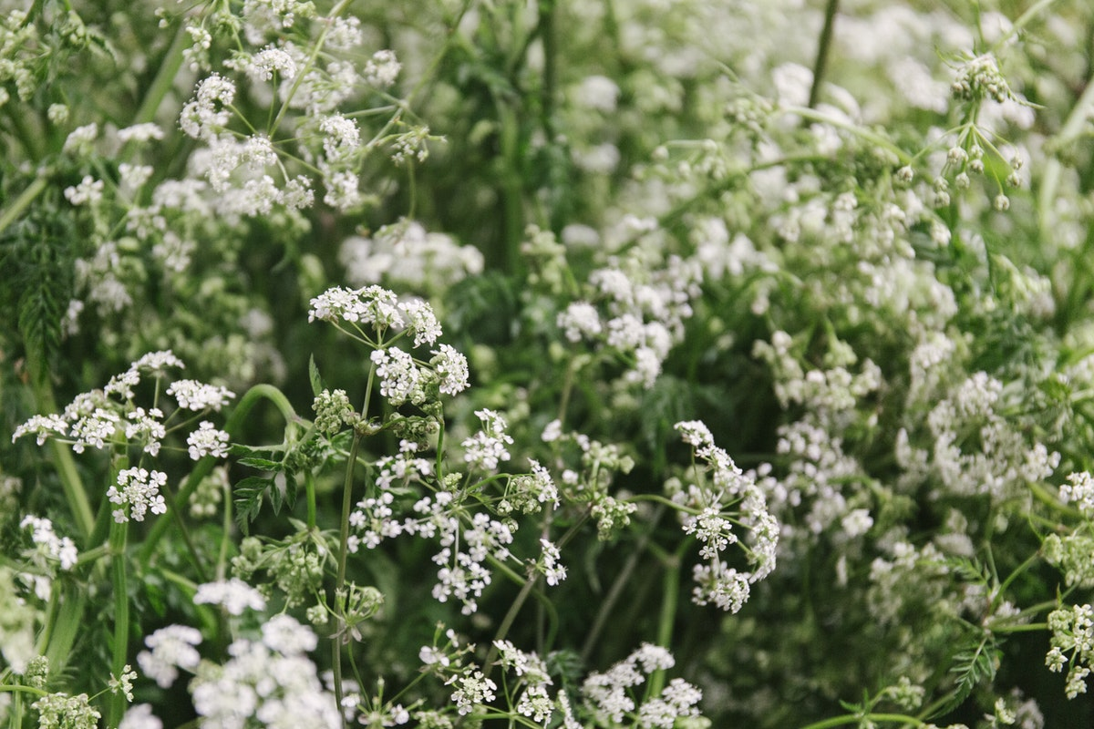 New Covent Garden Flower Market May 2019 In Season Report Rona Wheeldon Flowerona British Cow Parsley Ay Gb Foliage