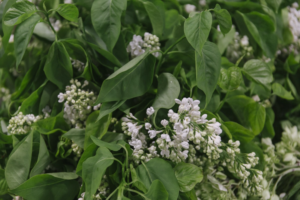 New Covent Garden Flower Market May 2019 In Season Report Rona Wheeldon Flowerona British White Lilac At Porters Foliage