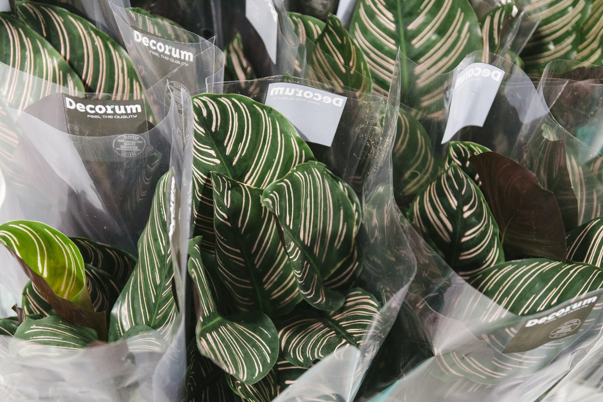New Covent Garden Flower Market May 2019 In Season Report Rona Wheeldon Flowerona Calathea Plants At Arnott Mason