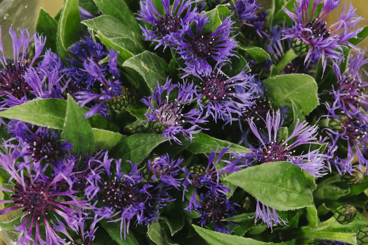 New Covent Garden Flower Market May 2019 In Season Report Rona Wheeldon Flowerona Centaurea Montana At Dennis Edwards Flowers