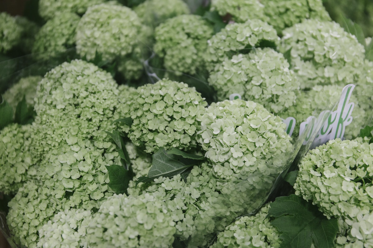 New Covent Garden Flower Market May 2019 In Season Report Rona Wheeldon Flowerona Viburnum Opulus Roseum At Bloomfield