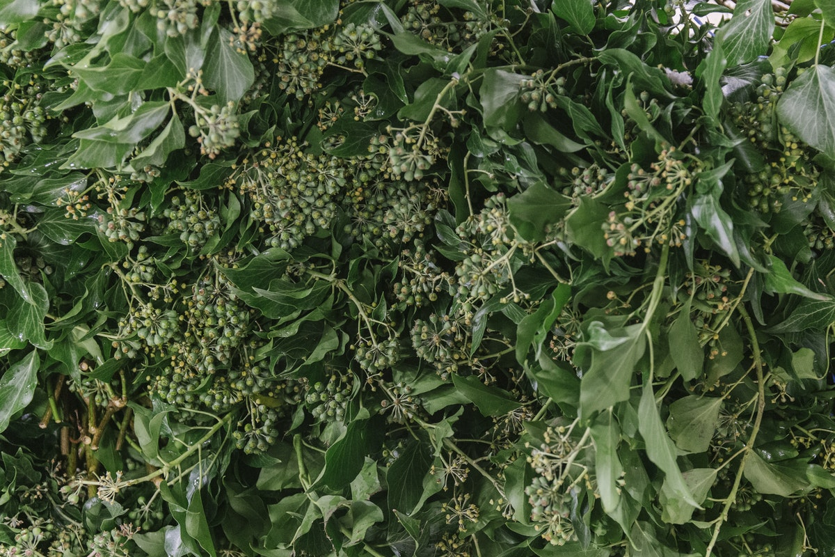 New Covent Garden Flower Market November 2019 In Season Report Rona Wheeldon Flowerona British Berried Ivy At Gb Foliage