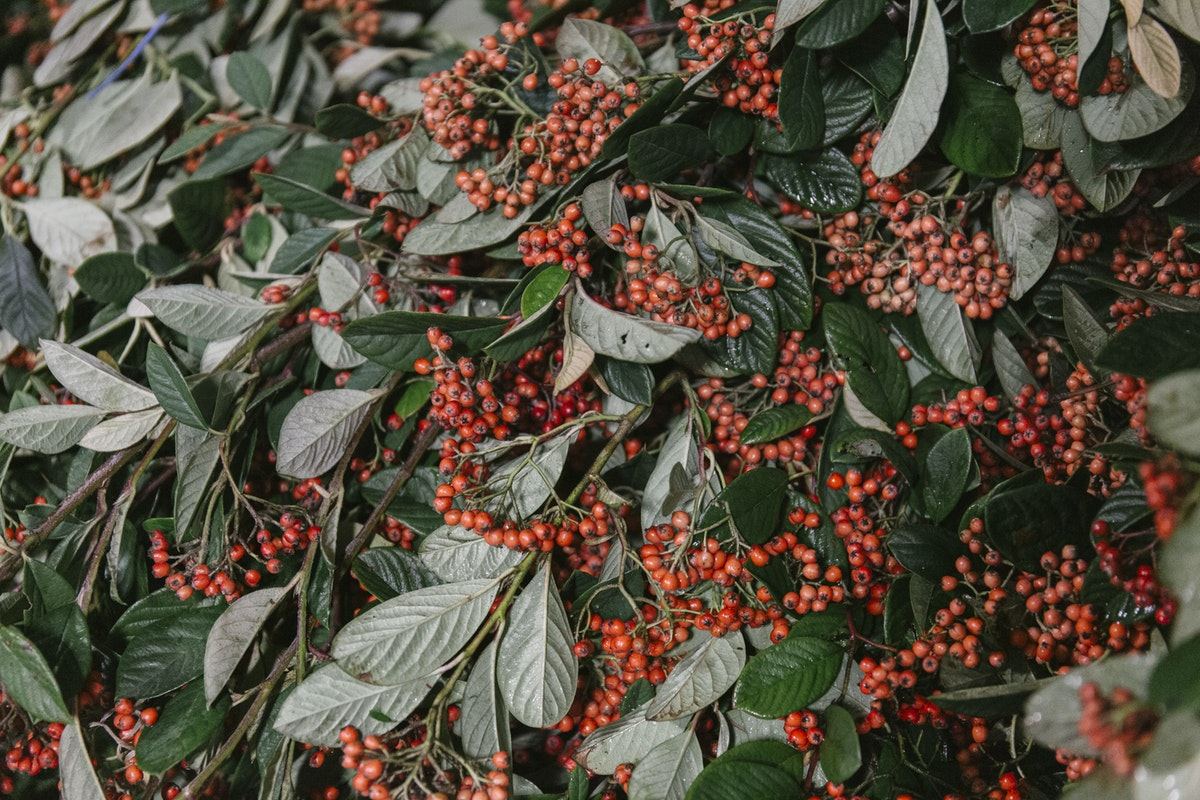 New Covent Garden Flower Market November 2019 In Season Report Rona Wheeldon Flowerona British Cotoneaster At Gb Foliage