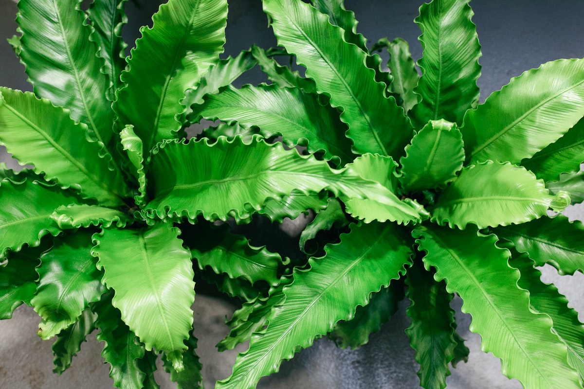 New Covent Garden Flower Market October 2017 Flower Market Report Asplenium Nidus Crispy Wave At Quality Plants