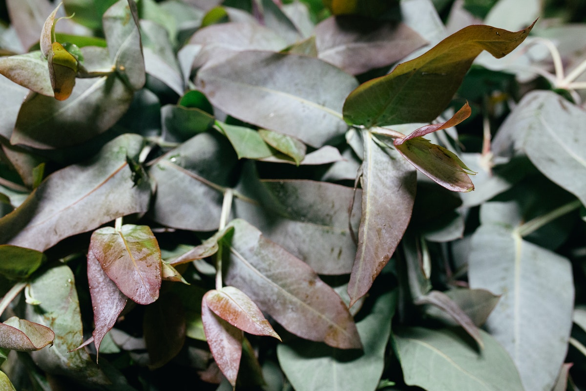 New Covent Garden Flower Market October 2017 Flower Market Report British Large Leaf Eucalyptus At Gb Foliage